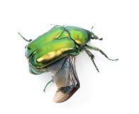 Green flower beetle against white background. Green flower beetle, Cetonischema aeruginosa, against white background, studio shot Stock Photos