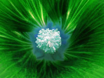 Green flower on a blurred background. Macro. Closeup. Furry light blue center.  For design. Royalty Free Stock Images