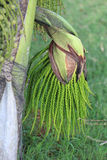 Green flower buds, areca catechu tree. In daylight stock photo
