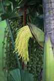 Green flower buds, areca catechu tree. In daylight royalty free stock image
