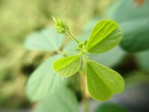 Green flower buds bouquet of weed, macro. And blurred background royalty free stock photos