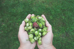Green Flower Buds on Human Hands Stock Photography