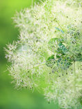Green flower Cotinus coggygria or Smoketree Royalty Free Stock Image