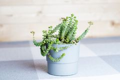 Green flower, Crassula Nealeana, rare succulent plant in a grey pot, home interior decoration concept, simple textile background stock photos