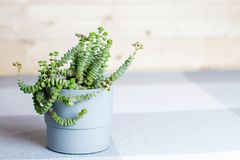 Green flower, Crassula Nealeana, succulent in a grey pot, home interior decoration concept, simple textile background, minimalism royalty free stock photo
