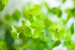 Green flower Euphorbia cyparissias cypress spurge Stock Photos