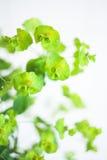 Green flower Euphorbia cyparissias cypress spurge Royalty Free Stock Photo
