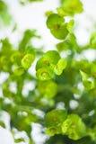Green flower Euphorbia cyparissias cypress spurge Royalty Free Stock Image