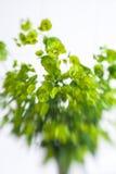 Green flower Euphorbia cyparissias cypress spurge Stock Photography