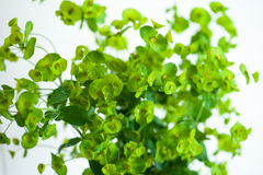 Green flower Euphorbia cyparissias cypress spurge Royalty Free Stock Images
