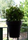 Green flower on the flowerpot.  stock photography