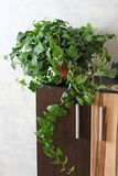 Green flower in a flowerpot. Indoor plant.  stock images
