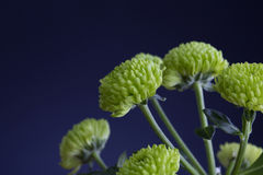 green flower Stock Images