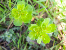 Green Flower Heads looking lush and lovely Royalty Free Stock Images