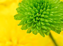 Green flower macro Royalty Free Stock Image