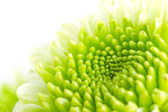 Green flower Royalty Free Stock Image