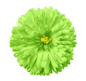 Green  flower, white isolated background with clipping path.  Closeup Royalty Free Stock Images
