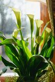 The green flower on the windowsill is illuminated by the morning sun Royalty Free Stock Photos