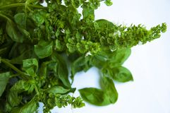 Green, flowering basil. Basil - fragrant spice. White background and close-up. Stock Photo