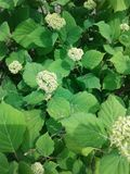 Sammer, flowering bush, nature. Green, flowering bush, summer nature plants Royalty Free Stock Photos