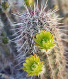 Green Flowering Hedgehog Cactus Royalty Free Stock Photography