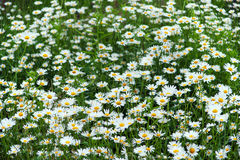 Green flowering meadow with white daisies Stock Images