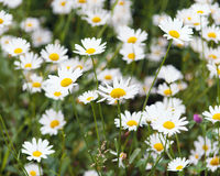 Flowering meadow with white daisies. Stock Images