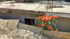 Green flowering shrub between stone and concrete. Green plant with red flowers growing between stone, sand and concrete despite encroaching buildings Stock Photography