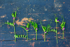 Green flowering sprigs of wild peas with small purple flowers on an old black wooden board with crack Royalty Free Stock Photo