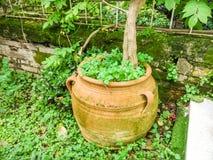 Green flowers in an amphora. Inside a garden in Corfu island Greece Stock Photography