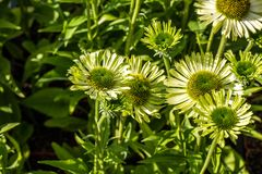 Green flowers of blooming coneflowers or jewel Echinacea, copy space. Green flowers of blooming coneflowers or jewel Echinacea in closeup in perennial botanical Stock Image