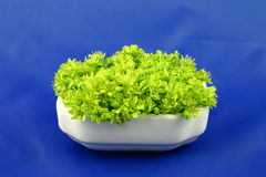 Green flowers on the blue. Small fresh flowers of linden tree put in white porcelain on the blue background Stock Photos