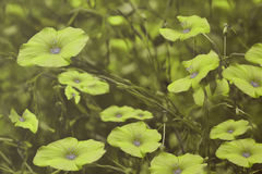 Green flowers on blurry  background. Floral background. Green wildflowers in the grass. Stock Images