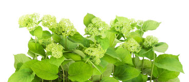 Green flowers bush Royalty Free Stock Images