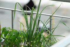 Herb garden. Green herbs growing in planter box Royalty Free Stock Photos