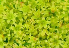Green flowers of grape. Stock Images