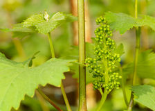 Green flowers of grape Stock Photos