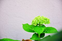 Green flowers. Flower of flowers Before the age Flowering is a distinctive bush in the middle of the garden, the natural beauty of flowers Royalty Free Stock Images
