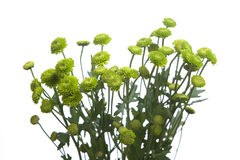 Green flowers isolated on white Stock Photos
