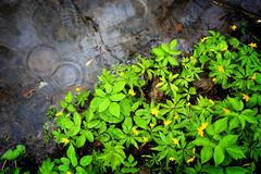 Green flowers leaf near puddle Royalty Free Stock Images