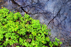 Green flowers leaf near water Royalty Free Stock Image