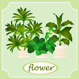 Green flowers in pots. Image with space for text Royalty Free Stock Photos