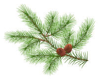 Green fluffy cedar branch and two cones Stock Photo