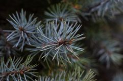 Green fluffy fir tree brunch close up Royalty Free Stock Photography