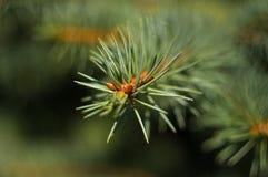 Green fluffy fir tree brunch close up Stock Image