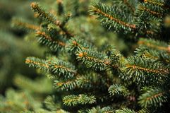 Green fluffy fir tree brunch close up Royalty Free Stock Image
