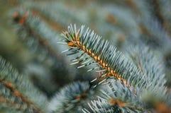 Green fluffy fir tree brunch close up Stock Photos