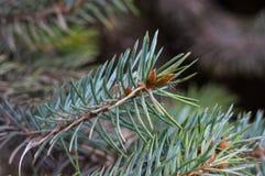 Green fluffy fir tree brunch close up Stock Photography
