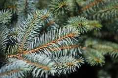 Green fluffy fir tree brunch close up Royalty Free Stock Images