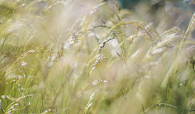 Green fluffy grass with sunlight - blur background stock photo